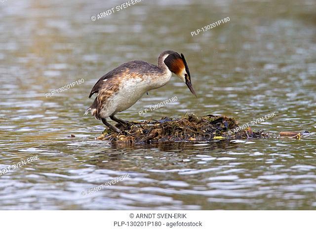 Great Crested Grebe Podiceps cristatus entering nest made of rotten vegetation in lake