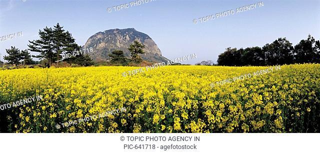 Rape Flowers Field,Mt.Sanbangsan,Jeju Island
