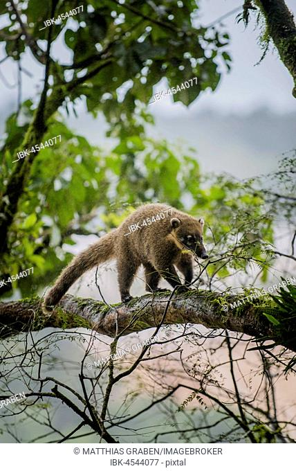 Ring-tailed coati (Nasua nasua) climbing on tree, Parque Nacional do Iguaçu, Paraná, Brazil