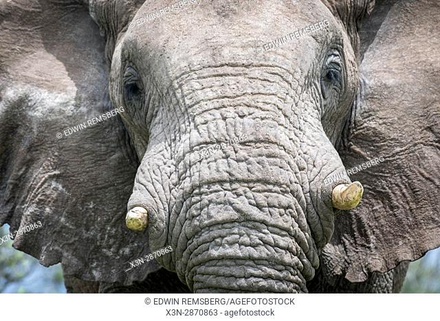 Close up view of an elephant at Etosha National Park, located in Namibia, Africa
