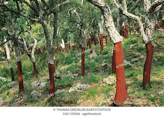 Cork extraction, Cortes de la Frontera National Reserve. Malaga province, Andalucia, Spain
