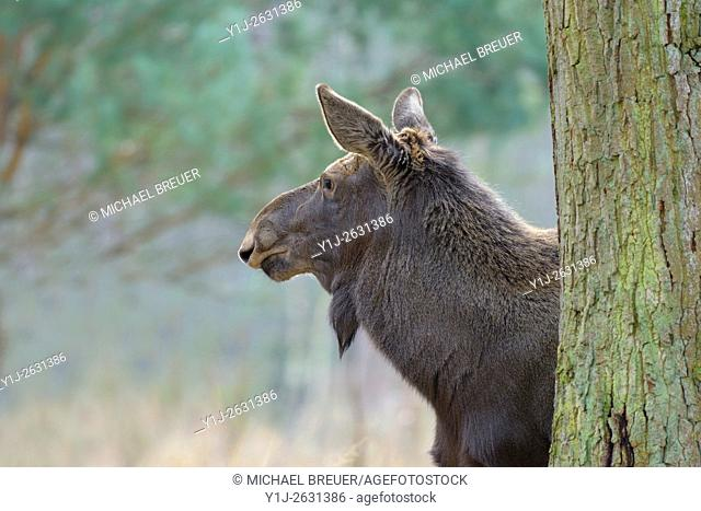 Moose behind tree, Elk, Alces alces, Europe