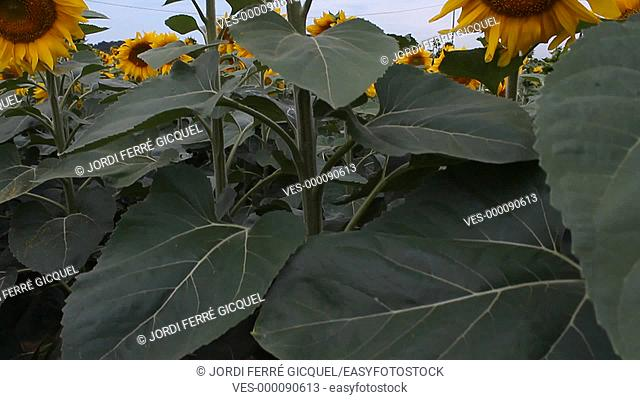 Field of sunflowers in Catalonia, Spain