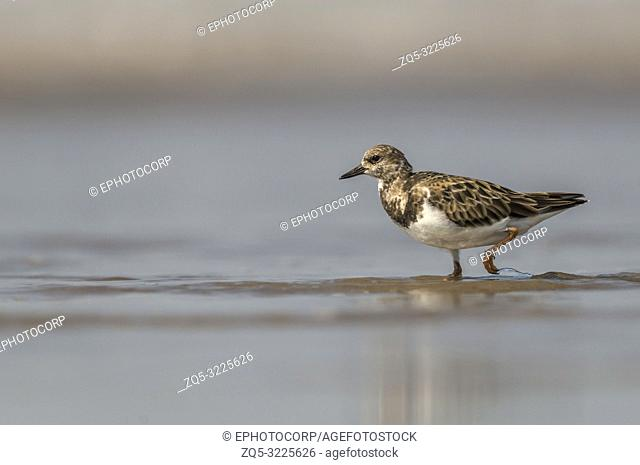 Ruddy turnstone, Arenaria interpres, Akshi, Alibagh, Maharashtra, India