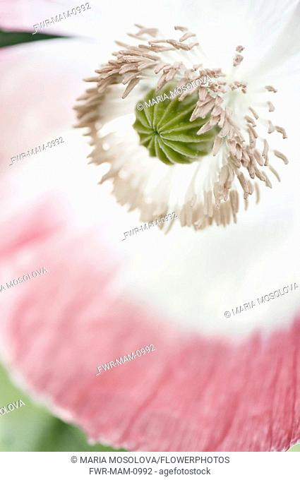 Poppy, Papaver somniferum. Close cropped view of single flower with white petals edged in pink and showing detail of stamens surrounding developing seed head