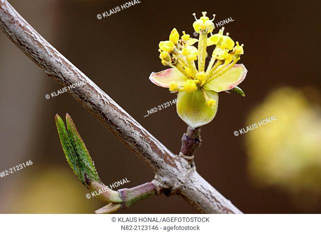 Cornelian cherry (Cornus mas) blooms in early spring and is an excellent honey plant - Region Hesselberg, Bavaria/Germany