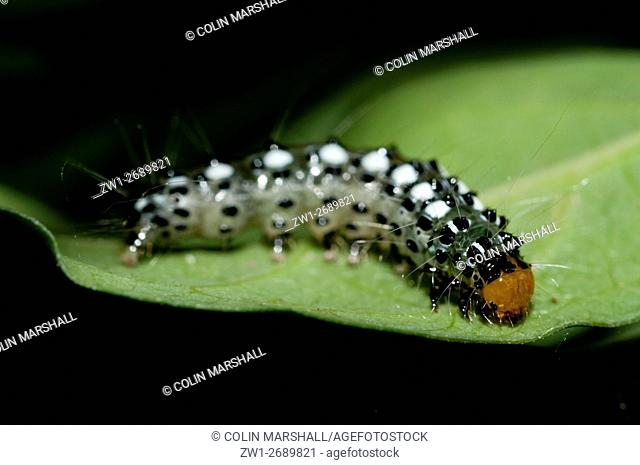 Caterpillar (Lepidoptera order) with long hairs for protection, Klungkung, Bali, Indonesia