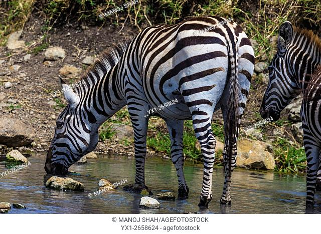 Zebra Drinking water from a spring. Masai Mara National Reserve, Kenya