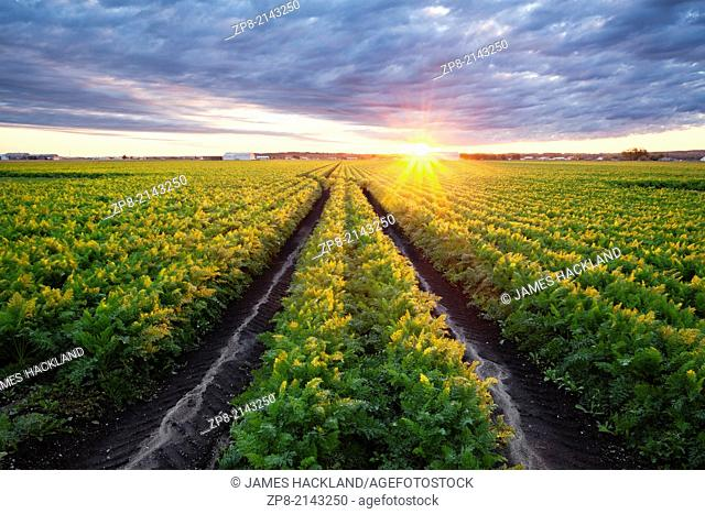 A mature field of carrots in the Holland marsh at sunrise. Bradford West Gwillimbury, Ontario, Canada