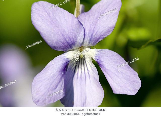 Heath Dog-violet, Viola canina
