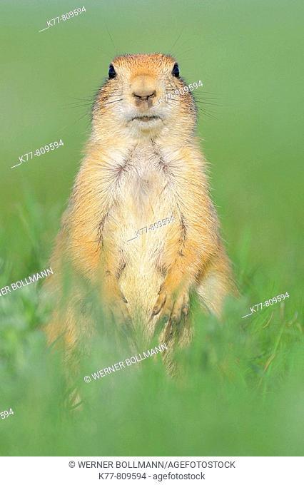 Black-tailed Prairie Dog (Cynomys ludovicianus). Windcave N.P., South Dakota, USA