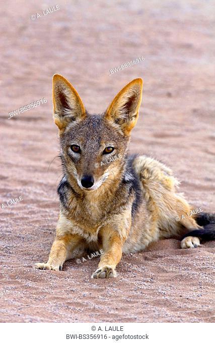 black-backed jackal (Canis mesomelas), lying in the sand, Namibia, Namib Naukluft National Park, Sossusvlei