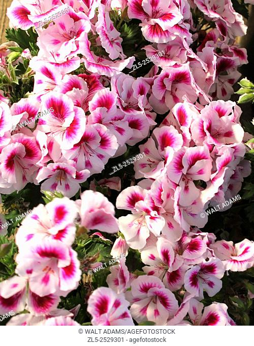 A beautiful assortment of coral pink and white Pansies on display in a greenhouse