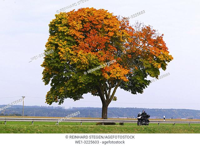 tree in autumn, fall colours