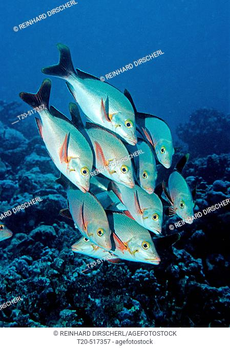 Humback snapper, Lutjanus gibbus. Indian Ocean, South Male Atoll. Maldives Island