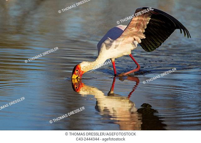 Yellow-billed Stork (Mycteria ibis) - Hunting in a pool with its wings open to keep balance. Okavango Delta, Moremi Game Reserve, Botswana