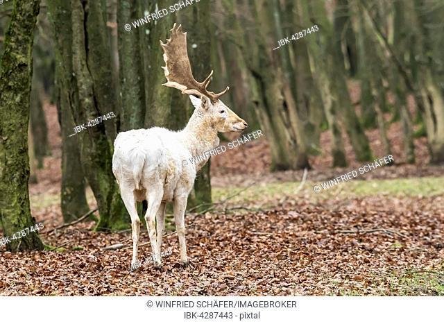 White Fallow Deer (Dama dama) in the forest, Vulkaneifel, Eifel, Rhineland-Palatinate, Germany