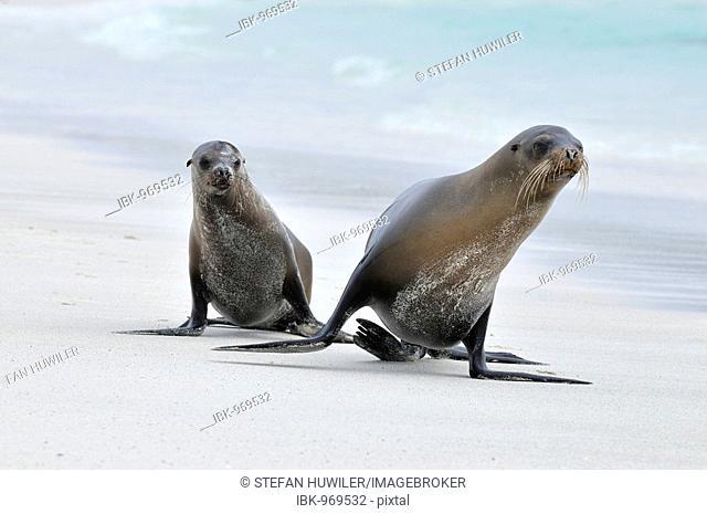 California Sea Lion (Zalophus californianus), Espanola Island, Galapagos, Ecuador, South America