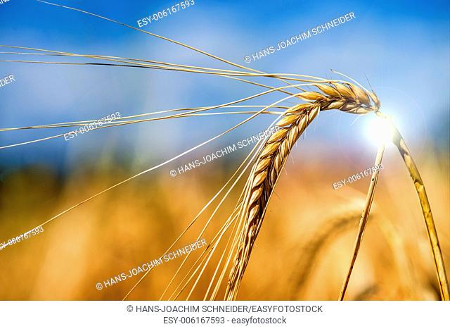barley, single head