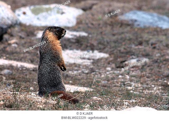 yellow-bellied marmot Marmota flaviventris