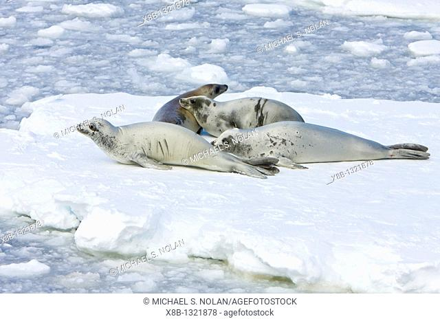 Adult crabeater seals Lobodon carcinophaga hauled out on an ice floe below the Antarctic circle on the western side of the Antarctic Peninsula  This is the most...