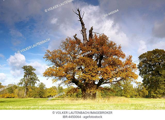 650 year old oak tree with autumn colors, Middle Elbe Biosphere Reserve, Dessau, Saxony-Anhalt, Germany