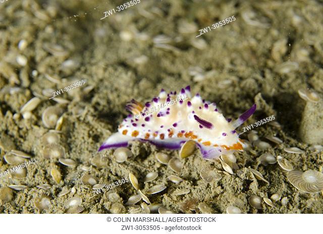 Multi-pustuled Mexichromis Nudibranch (Mexichromis multituberculata) crawling on sand in Foraminifera shells, Tasi Tolu dive site, Dili