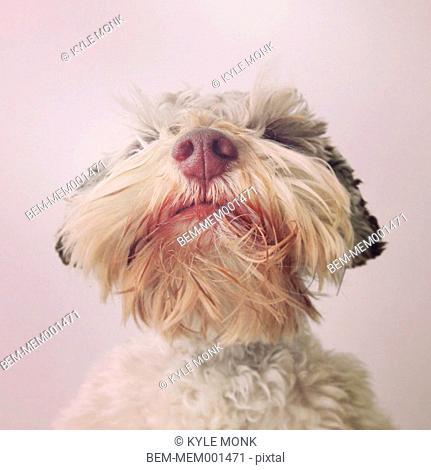 Close up of dog's beard and nose