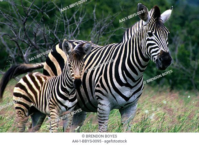 Zebra and foal, Kruger National Park, Mpumalanga , South Africa