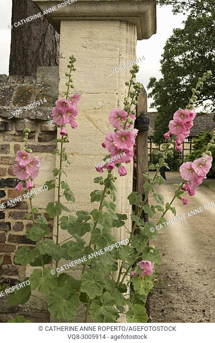 Old fashioned pink hollyhock flowers at the stone and brick entrance gateway to The Grange in Frampton on Severn, the Cotswolds, England