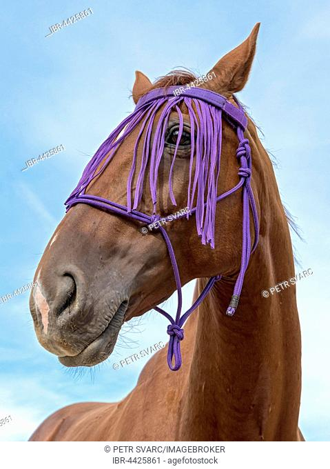 Portrait, hybrid horse, crossbreed of thoroughbred horse and Czech warmblood, with fly fringe