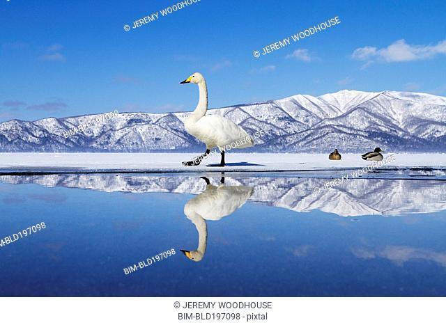 Swan on ice of Lake Kussharo
