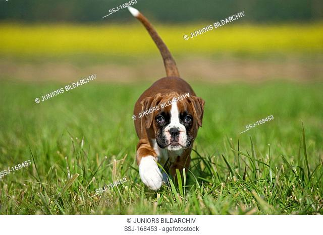 Boxer. Puppy walking on grass