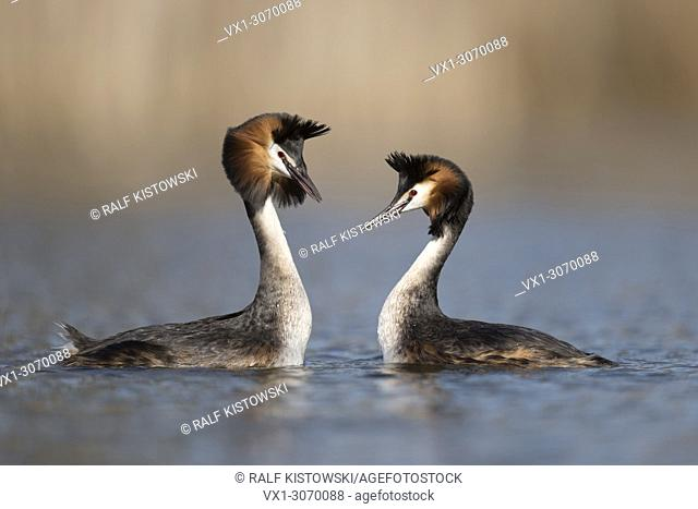Great Crested Grebes ( Podiceps cristatus ), couple in courtship routine, swimming breast to breast, head shaking ceremony, wildlife, Europe