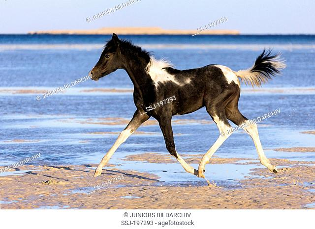 Pintarab. Filly-foal trotting in shallow water on a beach. Egypt
