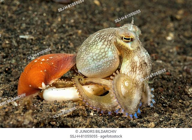 Coconut octopus, veined octopus (Amphioctopus marginatus) leaving his bivalve hide-out