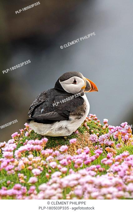 Atlantic puffin / common puffin (Fratercula arctica) in breeding plumage on cliff top in seabird colony, Sumburgh Head, Shetland Islands, Scotland, UK