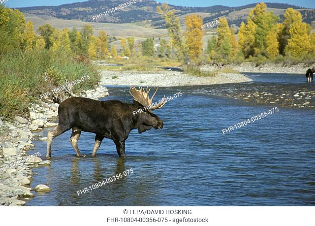 Moose Alces alces crossing the Gros Ventre River between Grand Teton Nat Pk and the National Elk Re