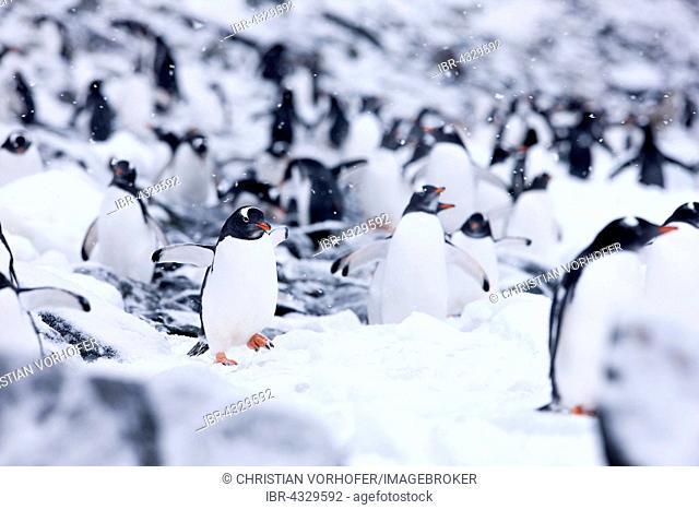 Gentoo penguins (Pygoscelis papua) between ice and rock, Antarctic Peninsula, Antarctica