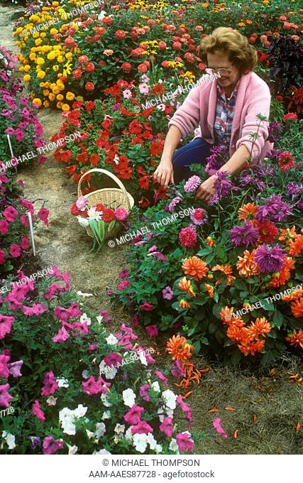 Woman cutting Flowers in September Garden, Spokane, WA, Annuals & Perennials
