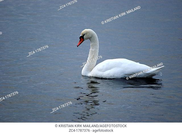 White swan on deep blue sea