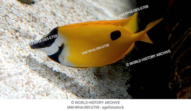 The foxface rabbitfish (Siganus vulpinus)a species of fish found at reefs and lagoons in the tropical Western Pacific