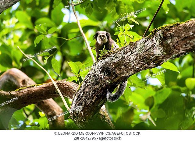 White-headed marmoset (Callithrix geoffroyi) photographed in Linhares / Sooretama, Espírito Santo, Brazil