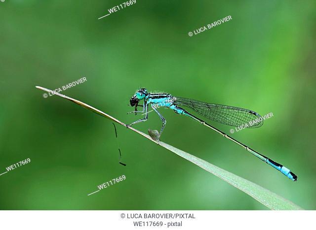 Ischnura elegans - Blue tailed damselfly eating