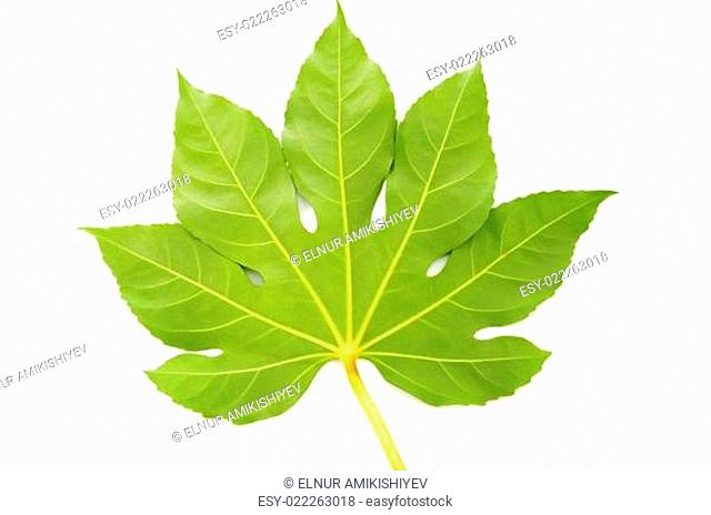 Green fig leaf isolated on the white