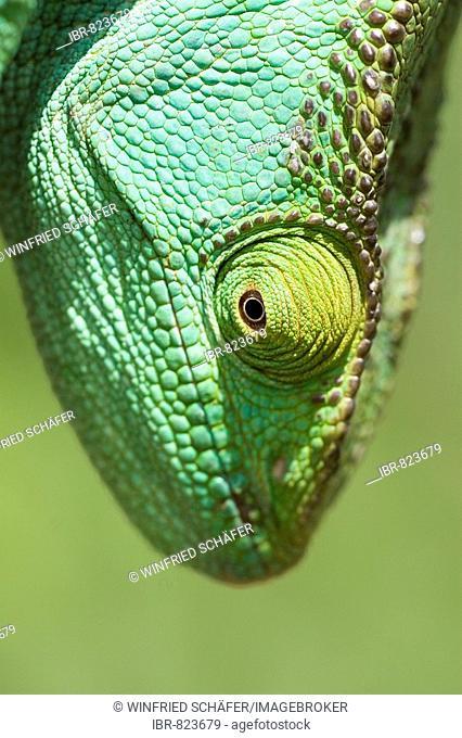 Parson's Chameleon (Calumma parsonii), female, Madagascar, Africa