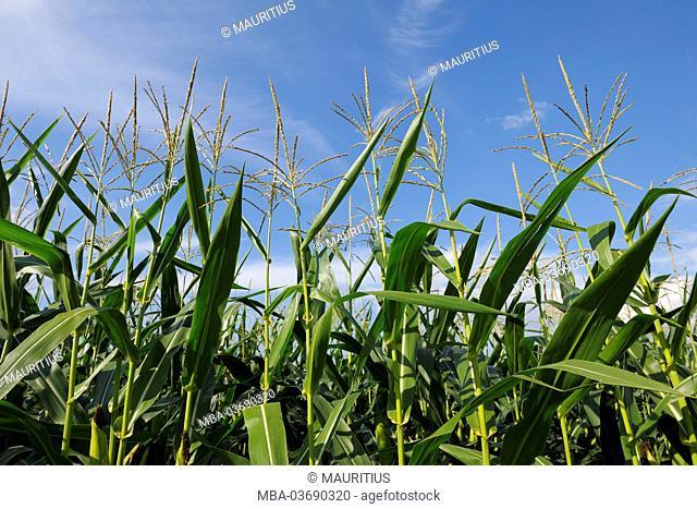 corn, summer, 'Spessart' (uplands), Bavaria, Germany