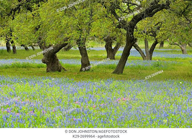 Texas wildflowers in bloom- bluebonnets and oak trees, Somerset, Texas, USA