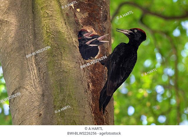 black woodpecker Dryocopus martius, male feeding three begging nestlings in an old beech, Germany, Bavaria, Isental