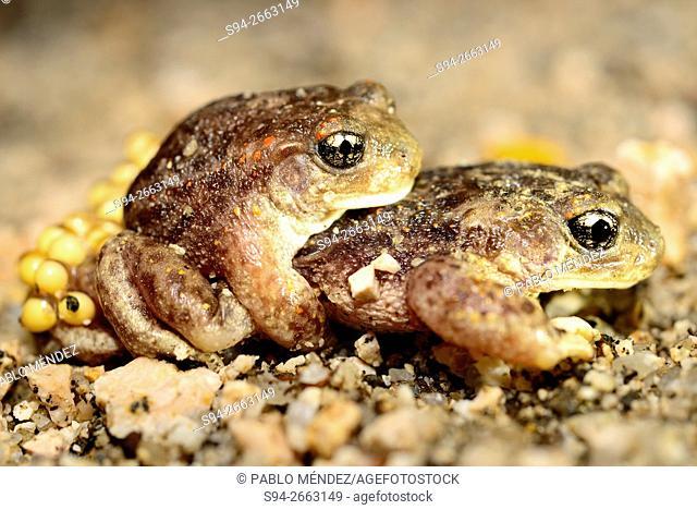 Amplexus between iberian midwife toads (Alytes cisternasii) in Valdemanco, Madrid, Spain